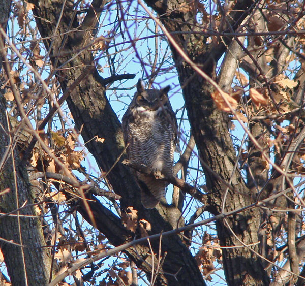 Great Horned Owl roosting in a White Oak tree, Columbus Park, Chicago, Illinois, December 15, 2009.