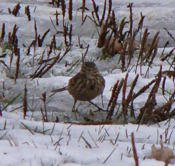 American Pipit, Columbus Park, Chicago, Illinois, December 20, 2009.