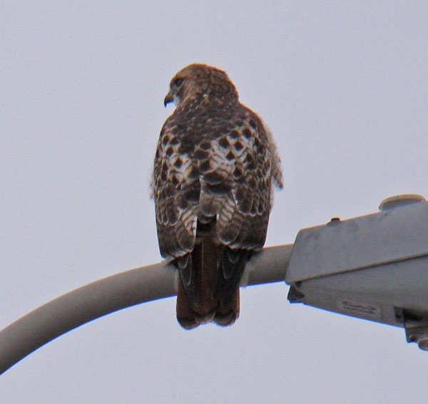 Red-tailed Hawk, I-290 median, south Oak Park, Illinois, January 5, 2009.