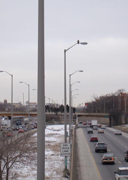 Red-tailed Hawk, I-290 median, south Oak Park, Illinois, January 5, 2009.