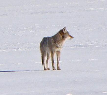 Coyote, Columbus Park, Chicago, Illinois, February 19, 2010.