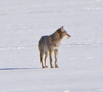 Coyote, Columbus Park, Chicago, Illinois, February 19, 2010.