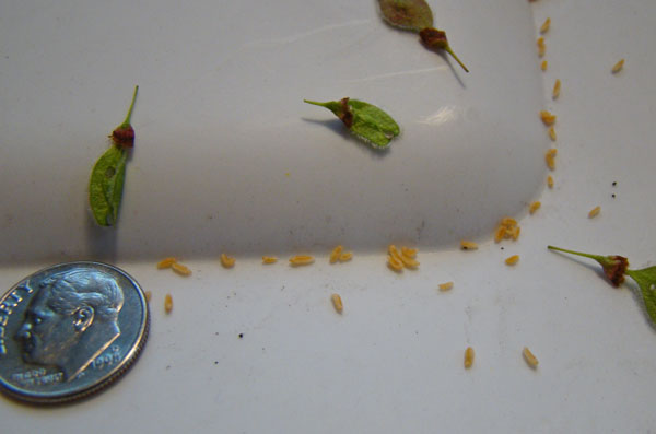 Tiny, pale yellow grub-like insect larvae that fell onto the lid