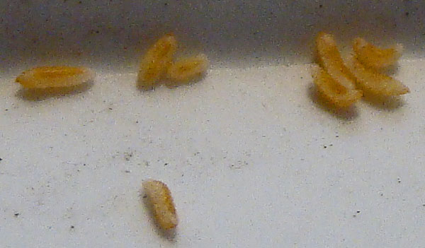 Closer view of grub-like insect larvae