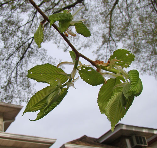 American Elm leaves - note the insect-chewed holes.