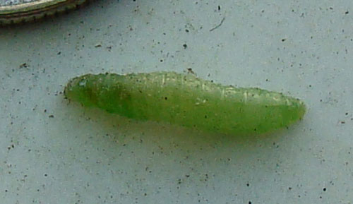 Little green caterpillar number 2.