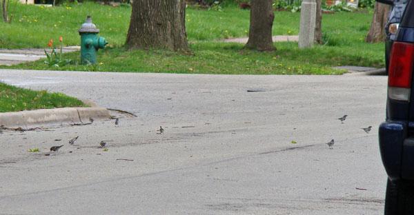 Yellow-rumped Warblers feeding on South Elmwood Street, April 27, 2009
